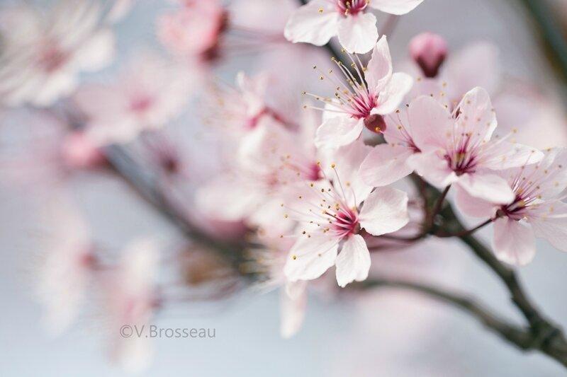 Le prunier pourpre d 39 ornement nature motion - Couper les feuilles en fin de floraison ...