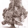 Séquoia, Bolbec, été 2006 (inachevé)