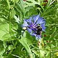 Fleur bleue 2