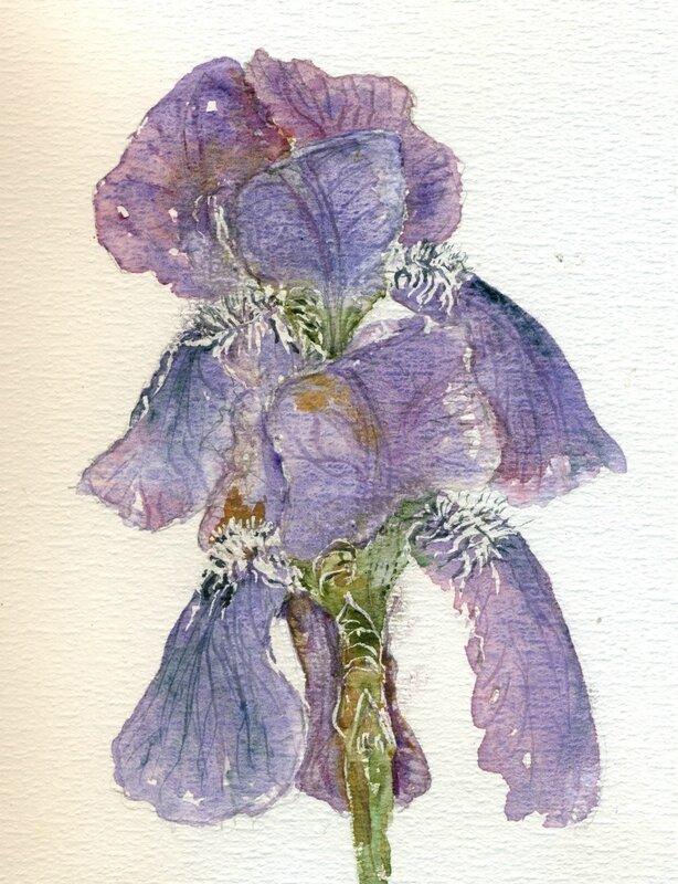 33 Iris