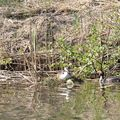 canal_grebe2