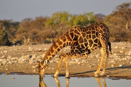 Girafe de l'Angola, parc d'Etosha, Namibie