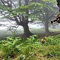 Grands hêtres dans le brouillard.