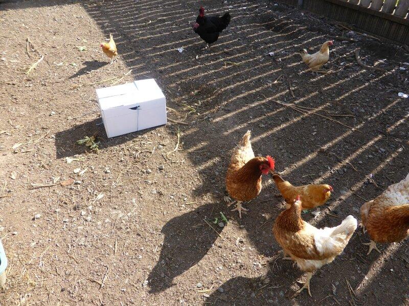 2-poules marans (2)
