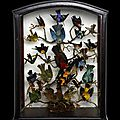 South american birds display in framed shadow box. circa mid to late-19th century