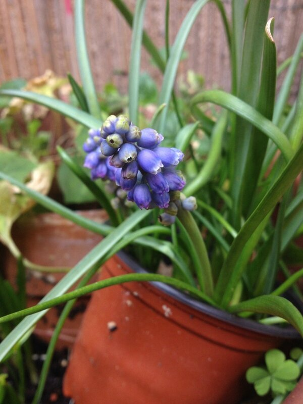 Muscari Courette