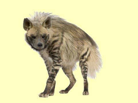 Papy s'est fait bouffé à Casablanca par une hyène !