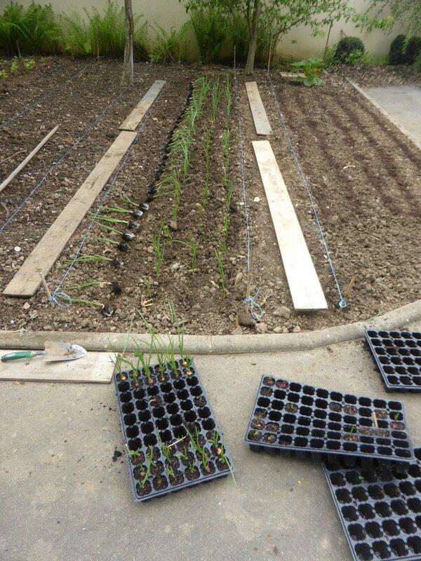 17-oignons-plantation (2)