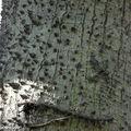 Chorisia speciosa • Famille des Bombacaceae