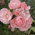 fleurs-roses-3 (4)