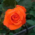 Rose 'France Libre' de chez Delbard