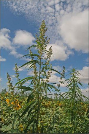plaine plante xxxx dans tournesols 100711