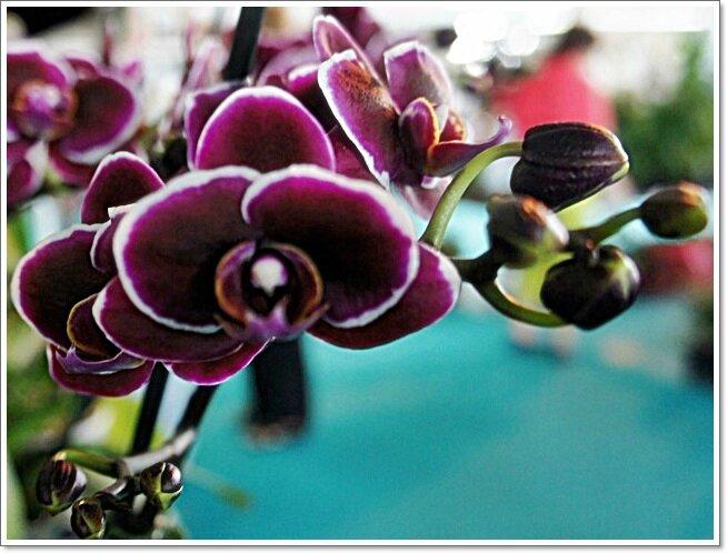 MACRO ORCHIDEE NOIRE