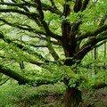 L'arbre guérisseur