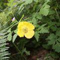 Pavot jaune ou Meconopsis du Pays de Galles