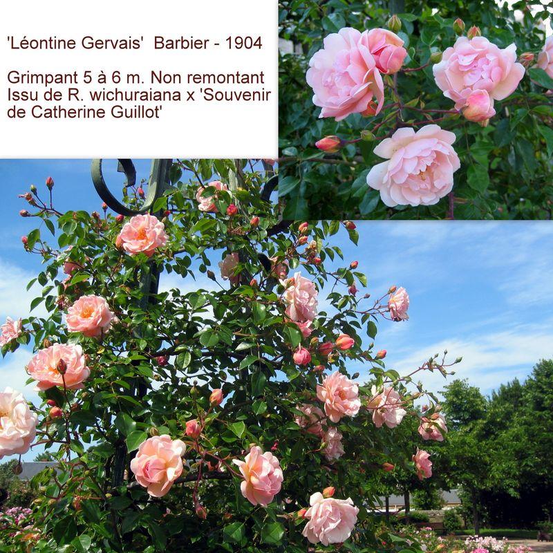Rose ancienne 'Léontine Gervais'