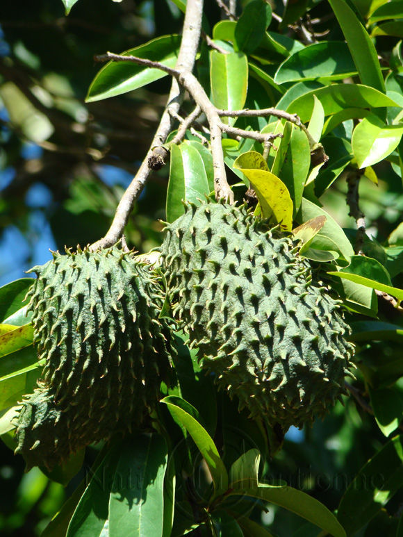 Image-Nature-Fruit exotique-Corossol-Martinique