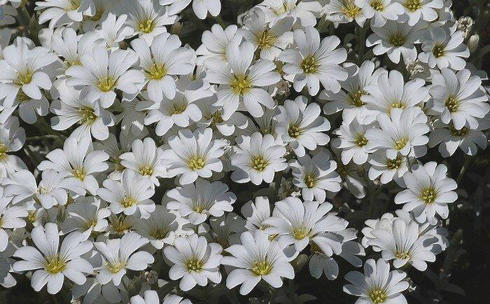 floraison d'Avril à Juillet