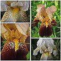 Iris mai 2017 (10)
