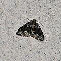 Ecliptopera silaceata ( La Cidarie ochracée )