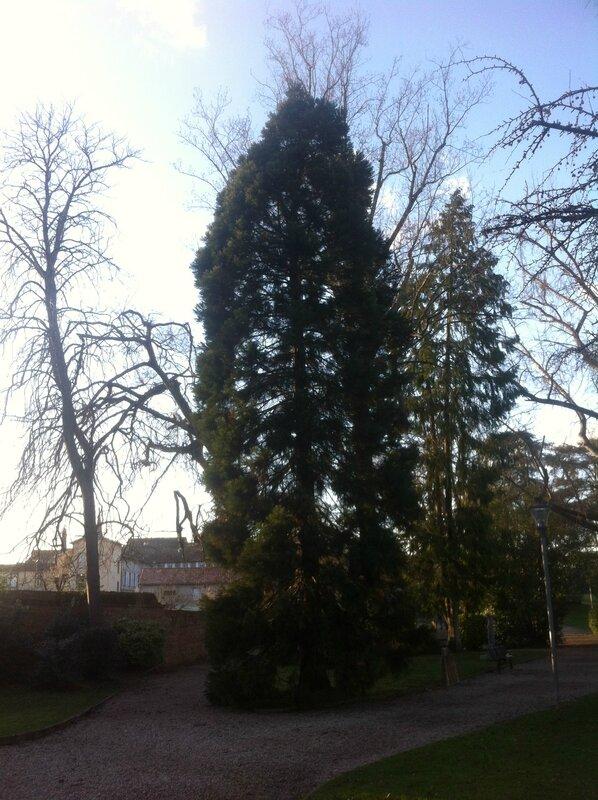 Le Sequoia gigantea du Jardin des Plantes de Montauban