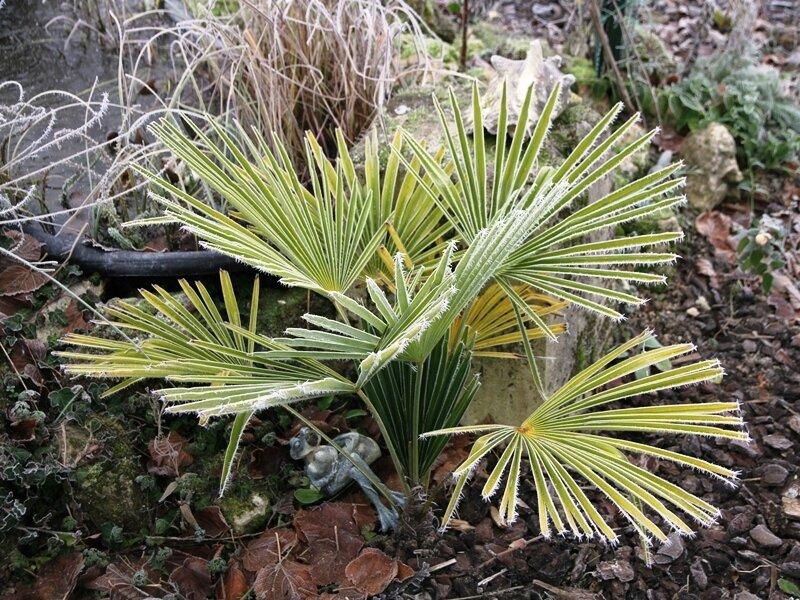 palmier-chanvre (trachycarpus fortunei) sous la neige