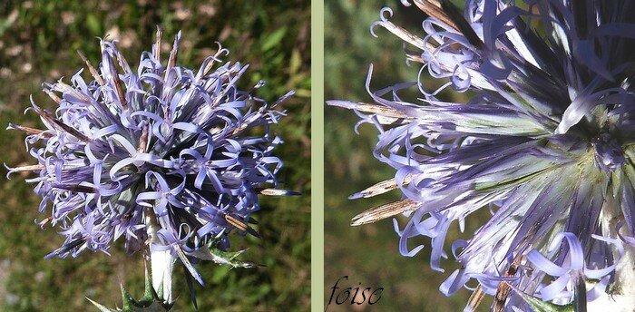 nombreuses fleurs tubulées à 5 lobes