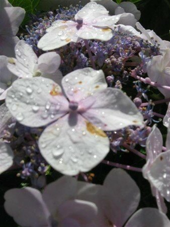 hortensia_010__Medium_