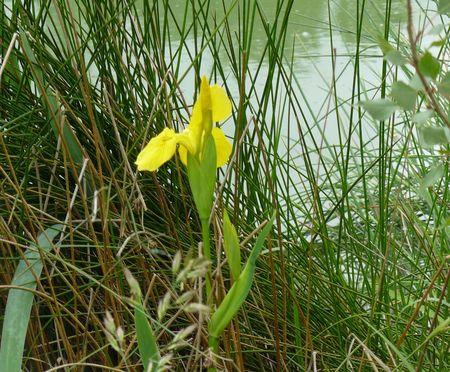 iris_jaune