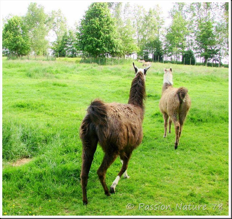 Lama et alpagua (19)