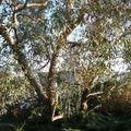 Eucalyptus devant l'entrée de Cora