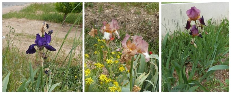 montage iris