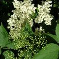 Fleur de surreau