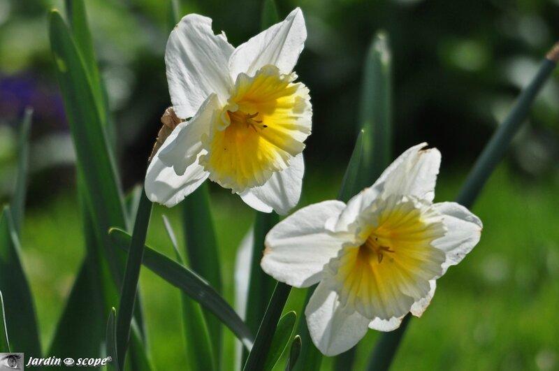 Narcisse bicolor