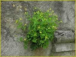 chélidoine mur