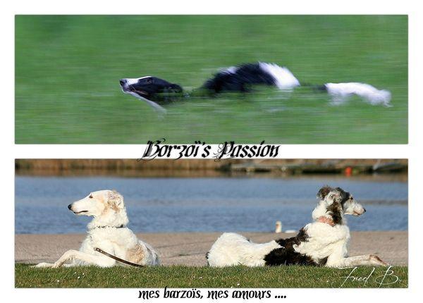 bannière 3 Borzoï Passion_ essai 4-signée