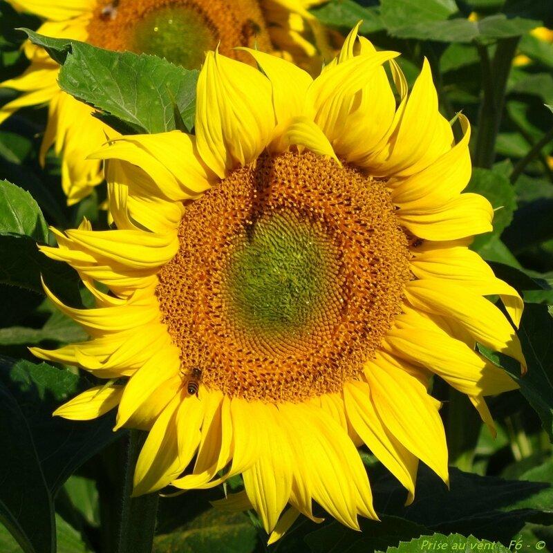 Tournesol - abeille