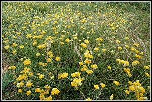 immortelle-jaune-plant-entier