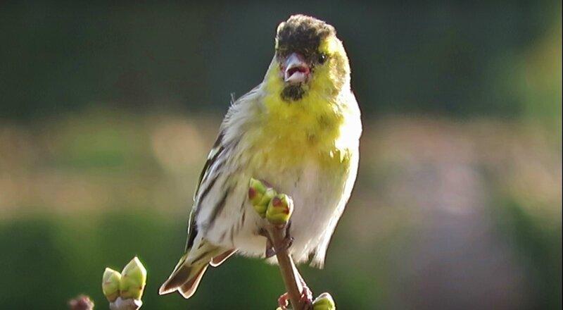 Roguidine les oiseaux du ciel sont de retour roguidine for Oiseaux du ciel