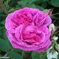 Rosier buisson 'Reine des Violettes'