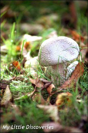 Brandon Hill 4 champignon