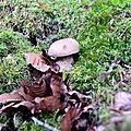 Jeune et joli cèpe d'été dans la hêtraie du fond d'Issaux.