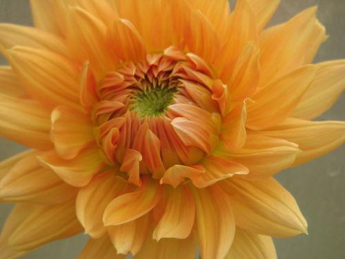 2008 09 11 Une fleur de dahlias orange