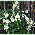 Roses trémières 2606152