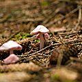 Mycène rosâtre - mycena rosella
