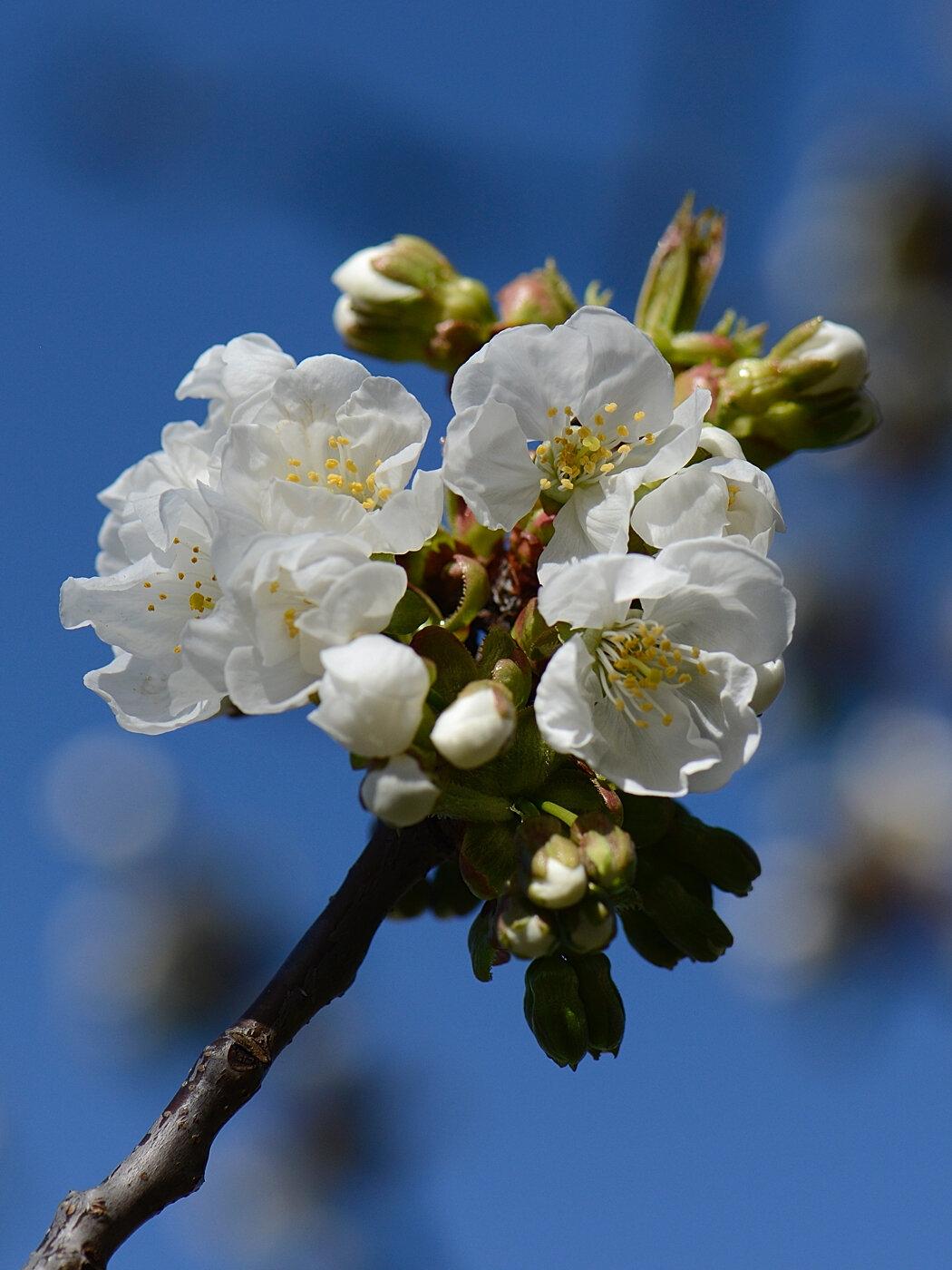 Premières fleurs de cerisier