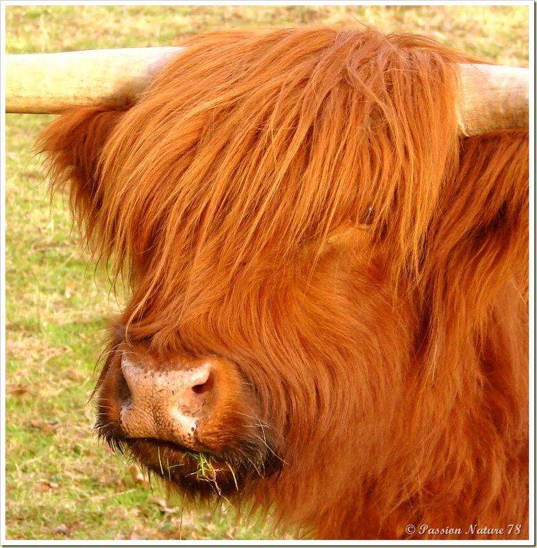 La vache de race Highland (11)