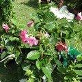 0445 - Gros liseron rose jardin d'Albertas 26 mai