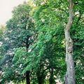 Alte kastanienbäume / old chestnut trees / vieux châtaigners / aleja kasztanowców