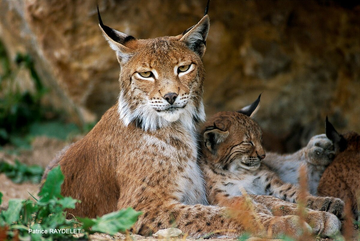40 ans du retour du lynx dans le jura r sum de la. Black Bedroom Furniture Sets. Home Design Ideas
